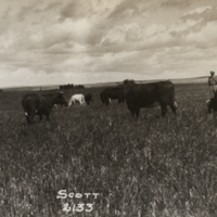 [Men observing cows grazing at Scott Research Farm]