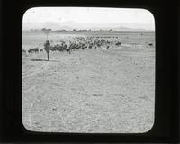 Moving a herd, Sierra Bonita Ranch, Arizona