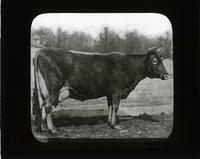 Champion Guernsey Cow