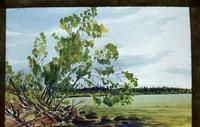 Birch Tree at Waskiesiu