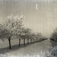 [Row of frosted trees]