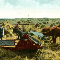 Canadian Harvesting Scene--Cutting the Grain
