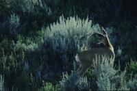 Deer and sage - dawn