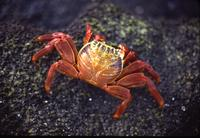 Sally-light-foot crab