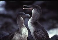 Male and female flightless cormorant