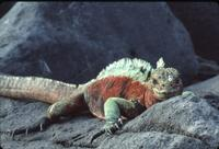 Red and green marine iguana