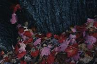 Red and pink leaves (maples)