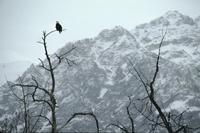 Eagles and trees with mountain backdrop near Haines