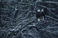 Pair of eagles in tree near Haines