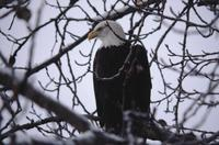 Close-up of eagle in tree near Haines