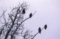 Eagles in trees along river near Haines