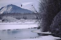 Eagles in trees with mountain background near Haines