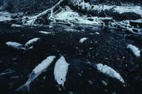 Frost on dead salmon near Haines