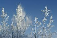 Hoarfrost falling from trees [near Haines ]