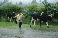 Man leading cows