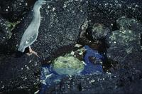 Lava heron feeding on crab