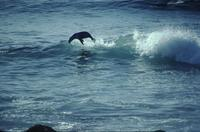 Sea lions body-surfing