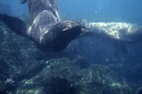 Sea lions - shallow water, plasas, dock