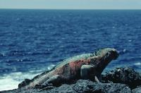 Colourful marine iguana