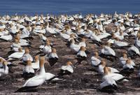 Australasian Gannet colony, Cape Kidnappers