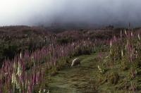 Sheep and foxgloves