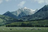 Sheep and mountain