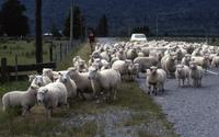 Farmer herding sheep on roadside