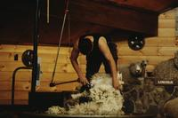 Shearing demonstration and show