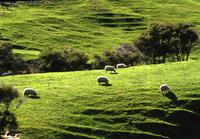 Rolling green hills and sheep