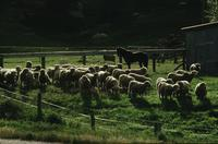 Sheep in farmyard, backlit
