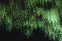 Ferns in cave