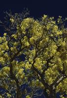 Yellow tree, dark blue sky