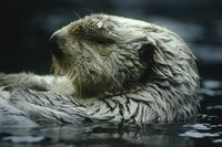 Sea otter (in zoo)