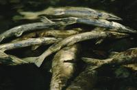 Dead salmon at Goldstream Provincial Park