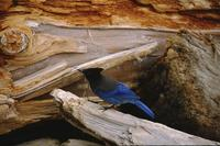 Stellar jay on log