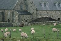 Sheep and Abbey