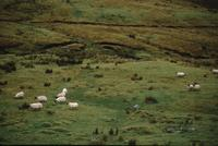 Rain-drenched landscapes with sheep