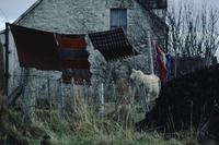 Sheep standing near clothesline