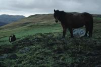 Highland  horse on moors