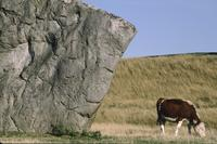 Cattle grazing near Avebury stone circle