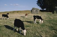 Cattle grazing in Avebury stone circle