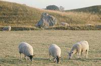 Sheep grazing near Avebury stones