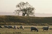 Sheep grazing in morning light near Avebury stone circle