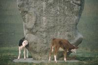 Cattle rubbing against Avebury stone circle