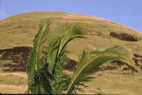 Palm fronds on Easter Island