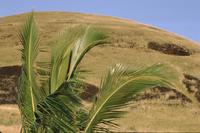 Palm leaves, Easter Island