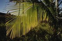 Closeup of palm leaf, Easter Island