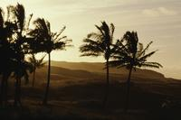 Palm trees at sunset, Easter Island