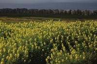 Yellow flowers, Easter Island