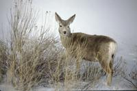 Mule deer Badlands